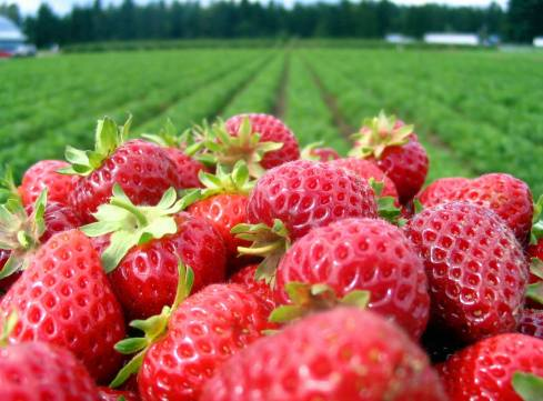 Most of our imported strawberries come from Ventura County, CA, minutes from the finish line.